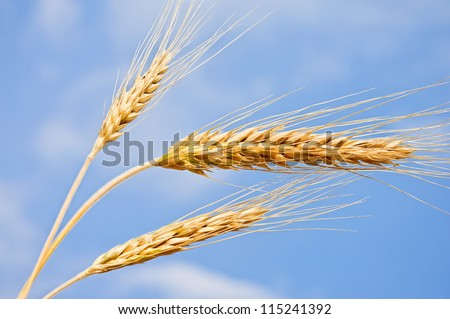 Wheat ears against the blue sky. Harvest