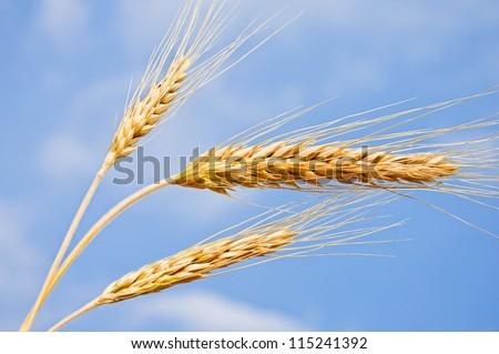 Wheat ears against the blue sky. Harvest - stock photo