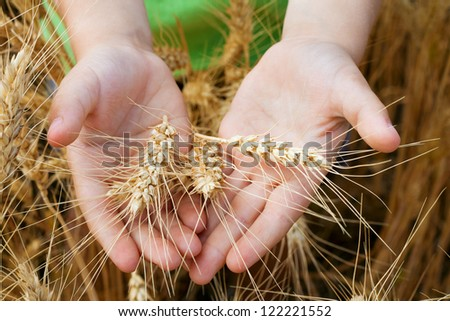 Wheat ears in the child hands, harvest concept