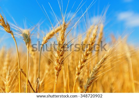 Wheat ears on a background of cloudy sky - stock photo