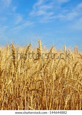 Wheat ears on field against blue sky. - stock photo