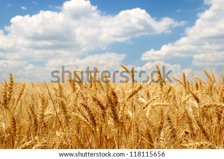 Wheat ears on field under blue sky - stock photo