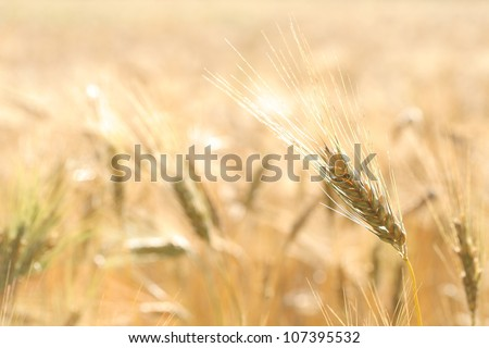 Wheat farm - stock photo