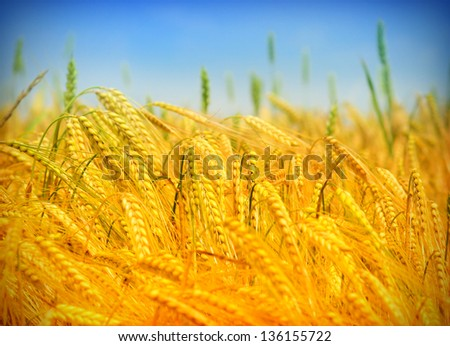 wheat field - stock photo
