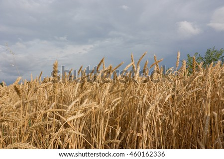 Wheat field against a blue sky. Rural landscape