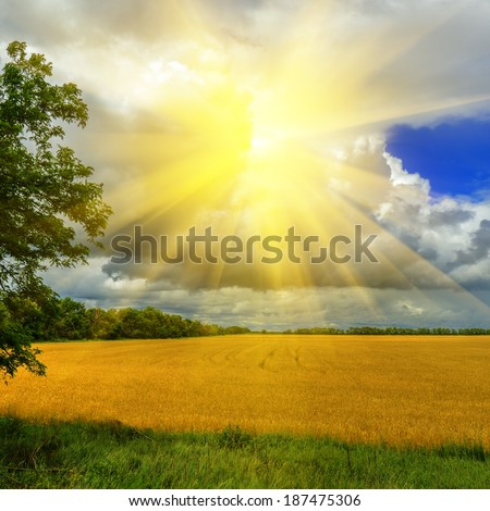 Wheat field against a dramatic cloudy sky with a sun  - stock photo