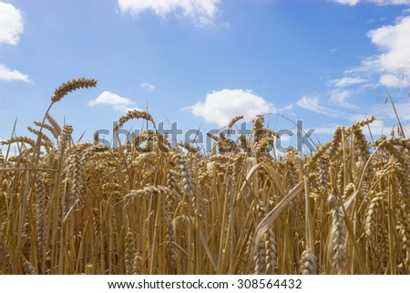 Wheat field against a summer sky - stock photo