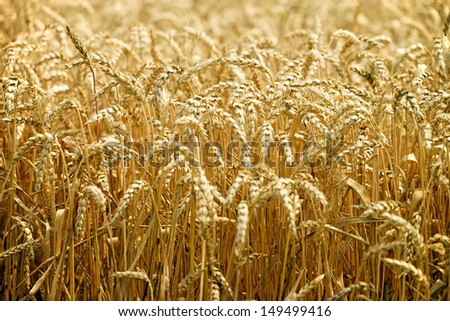 wheat field / agriculture - stock photo
