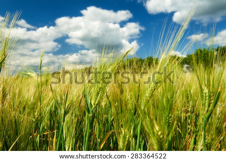 wheat field and blue sky summer landscape - stock photo