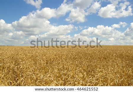 Wheat field and blue sky with cloud summer horizon