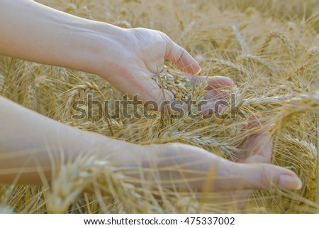 Wheat field and female hand holding cone