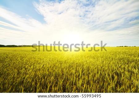 wheat field at dawn - stock photo