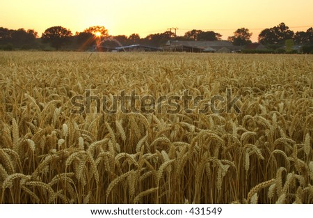 Wheat field at dusk in Kent, England - stock photo