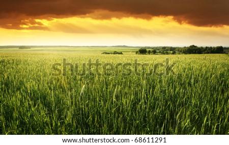 Wheat field at sunset. - stock photo
