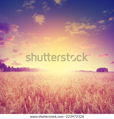 Wheat field at sunset in vintage style. - stock photo
