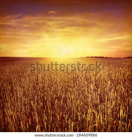 Wheat field at sunset sunset in grunge and retro  style.  - stock photo