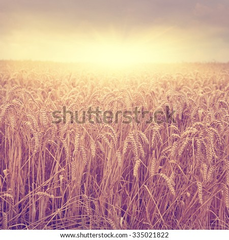 Wheat field at sunset.Vintage style. - stock photo