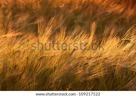 Wheat field at sunset, warm colors - stock photo