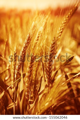 Wheat field background, agricultural meadow, autumn season, bread production, farmland, harvest season, organic nutrition, fall nature