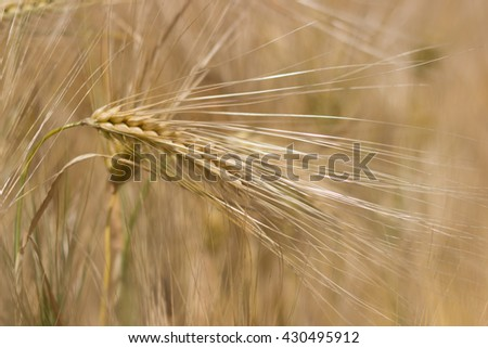 Wheat field, Barley field on sunny day, Shallow depth of field Rich harvest - stock photo