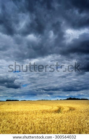 Wheat field before the storm. - stock photo