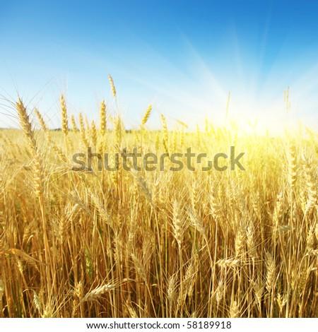 Wheat field,blue sky and sun. - stock photo