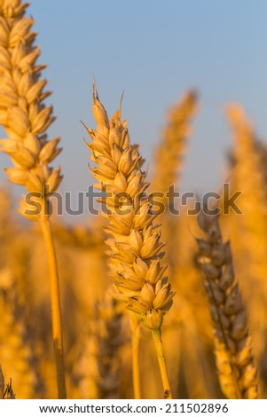 Wheat field close up and blue sky - stock photo