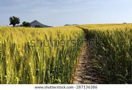 Wheat field close up in summer time, Hungary - stock photo