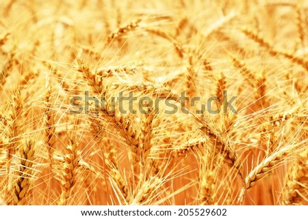wheat field - Close up nature photo Idea of a rich harvest