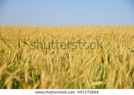 wheat field corn