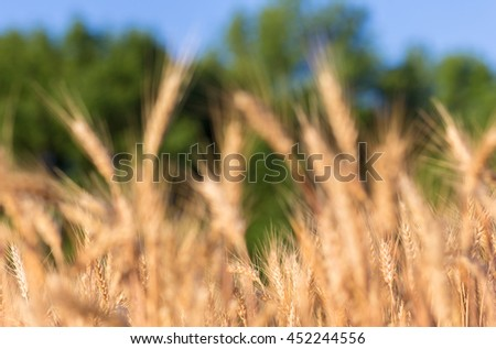 Wheat field. full of ripe grains, golden ears of wheat or rye close up. blurred. Rich harvest Concept. majestic rural landscape. retro style. vintage filter - stock photo
