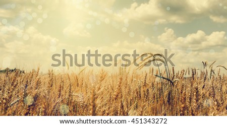 Wheat field. full of ripe grains, golden ears of wheat or rye close up on a blue sky background. soft light effect. Rich harvest Concept. majestic rural landscape. retro style. vintage filter - stock photo