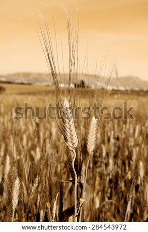 Wheat field in sepia - stock photo