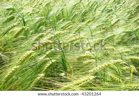 wheat field in spring - stock photo