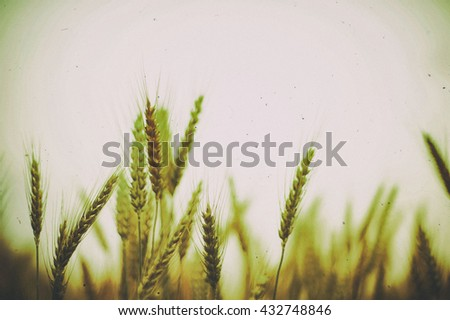 Wheat Field in sunset blurred background vintage.  - stock photo
