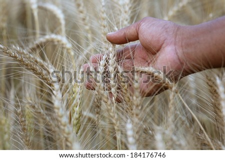 Wheat field near the time of harvesting