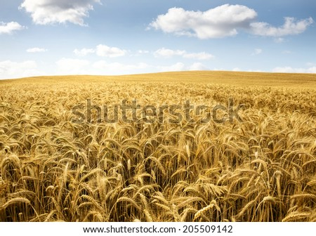 Wheat field on a bright sunny day - stock photo