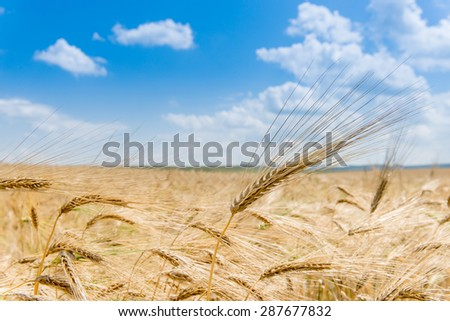 wheat field on the background of blue sky