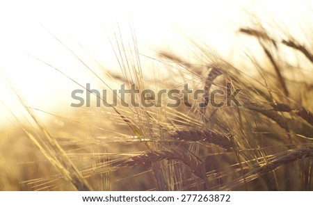 Wheat field on the background of the setting sun - stock photo