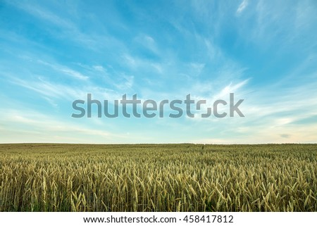 wheat field on the blue sky with clouds. wonderful rural landscape, used as background