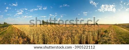 wheat field, panorama - stock photo