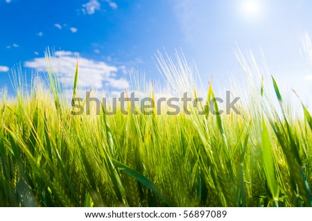 Wheat field. Sunny agriculture landscape - stock photo