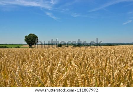 wheat field, tree and blue sky - stock photo