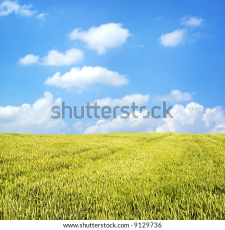 Wheat field under blue sky - stock photo
