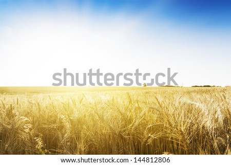 Wheat field under blue sky. Golden sunset in wide meadow. Ukraine. - stock photo