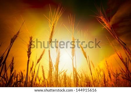 Wheat field under blue sky. Golden sunset in wide meadow. Ukraine. - stock photo