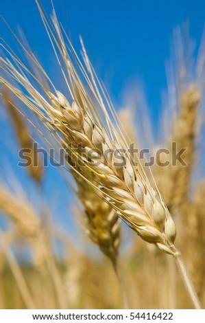 Wheat field, very shallow focus - stock photo