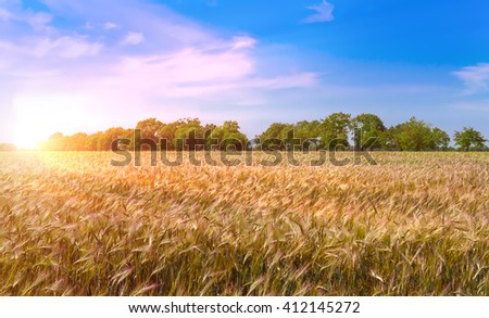 Wheat field with blue sky with sun and clouds. - stock photo