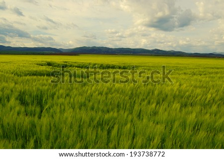 wheat field with cloudy sky in background  - stock photo
