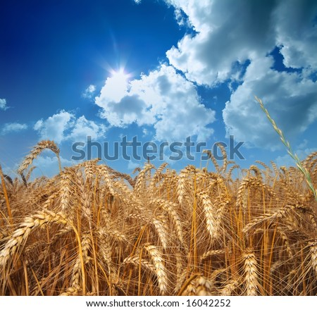 Wheat field with cloudy summer sky